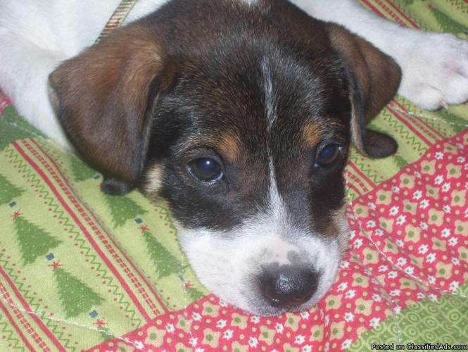 Jack Russell Terrier - Price: 75.00 in Baton Rouge, LouisianaFor Sale