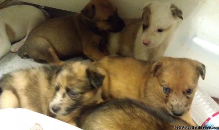 Australian Shepherd Mix Puppies