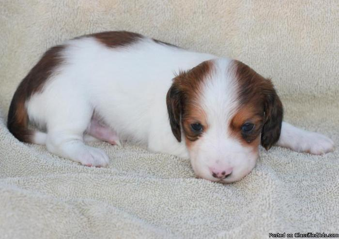 Long haired miniature piebald dachshund puppies - Price: $400-450 for ...