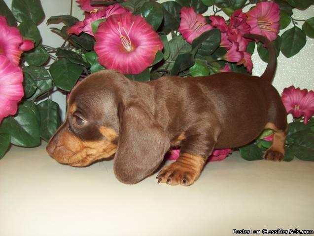 Miniature Dachshund Puppies for Sale