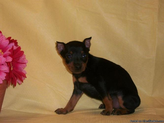 miniature-pinscher-puppies-for-sale-in-south-florida_20348103.jpg