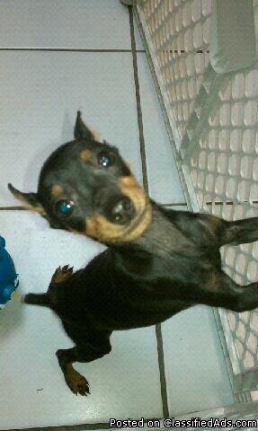 miniature-pinscher-puppies-for-sale-south-florida_19110458.jpg