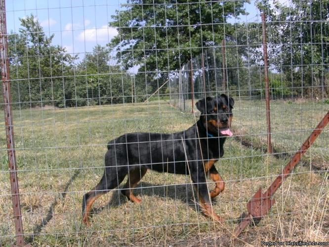 rottweiler pup ckc german bred 8 month old female very sweet 8 month old kentucky boy dies after being left in overheated car 666x500