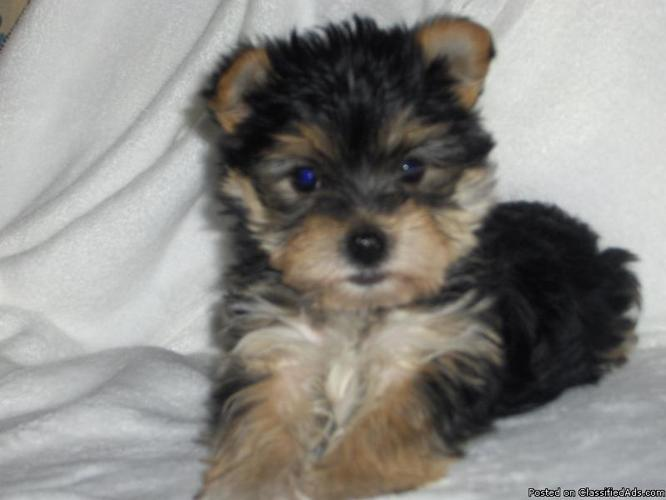 Yorkie / Maltese mixed puppy - Price: 475.00 in Baltimore, MarylandFor